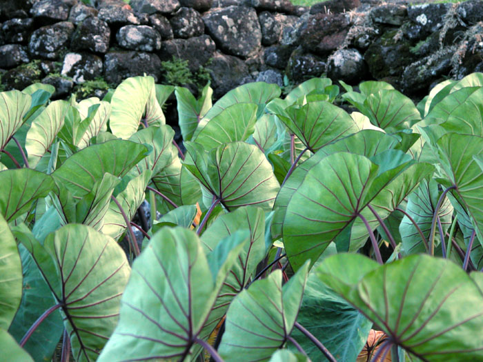 Pacific taro leaves, a Polynesian staple. Photo by  Tom Burke .
