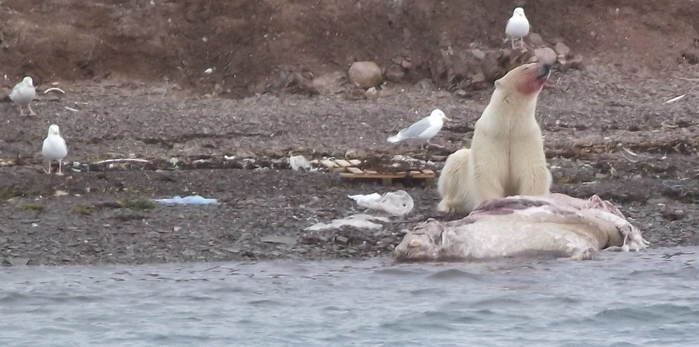 Polar bear eating a walrus. It was not his intention to hunt them. Pic by  Smiley.toerist  via Wiki.