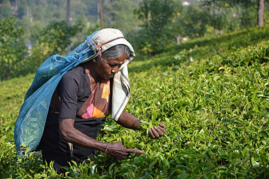 Woman harvesting tea in Sri Lanka. Photo by  Asantha Abeysooriya .