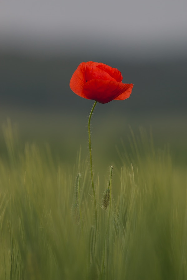 Austrian poppy. Photo by  Thomas Quaritsch .