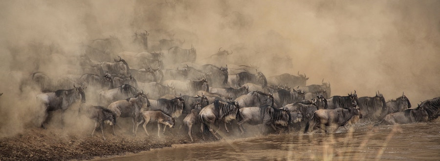 Stampeding wildebeest in the Masai Mara, Kenya. Photo by  Shripal Daphtary .