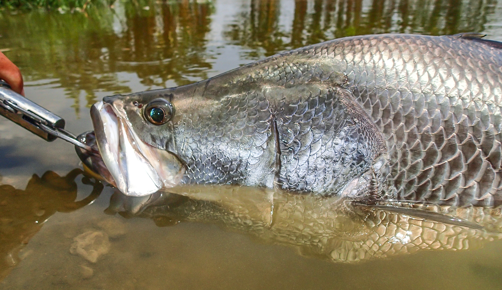 This silver beauty is a barramundi caught in Thailand.