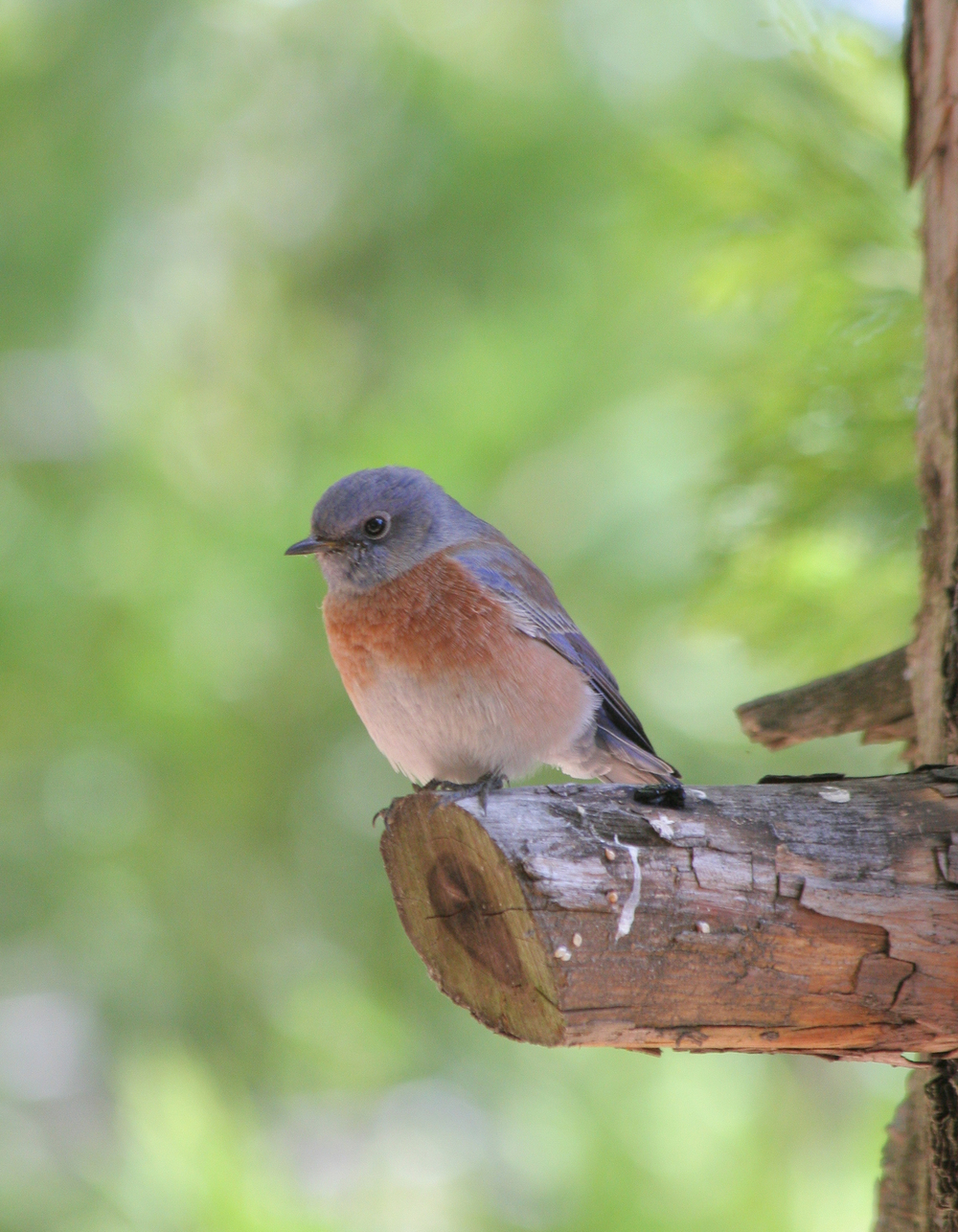 Western bluebird in California