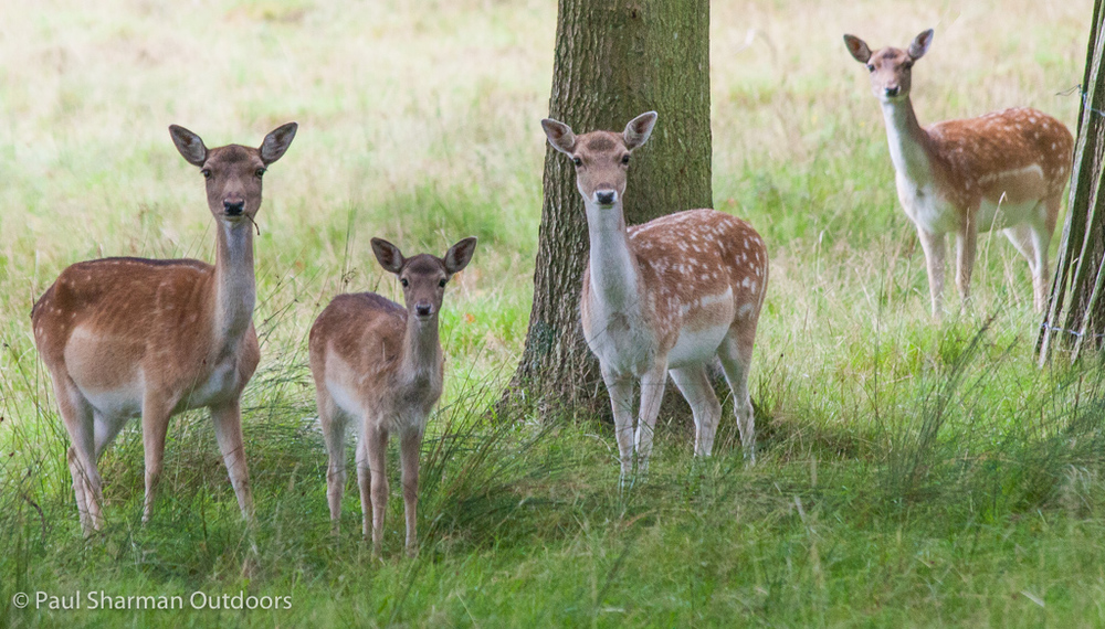 Fallow does and a fawn playing spot the photographer.