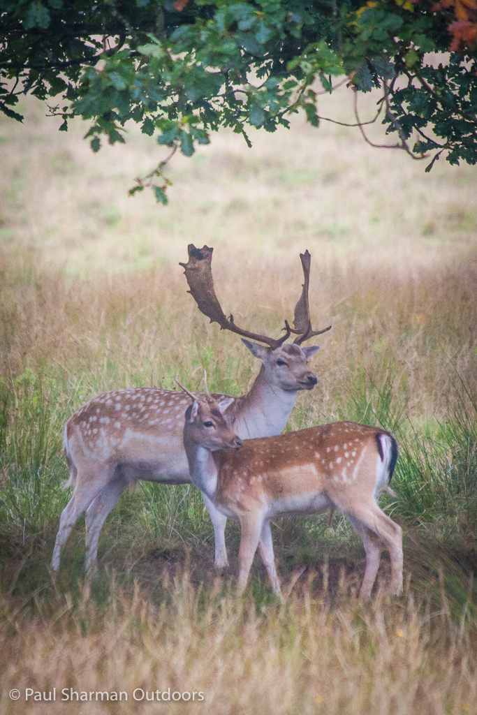 Nice portrait pose from these two fallow deer.