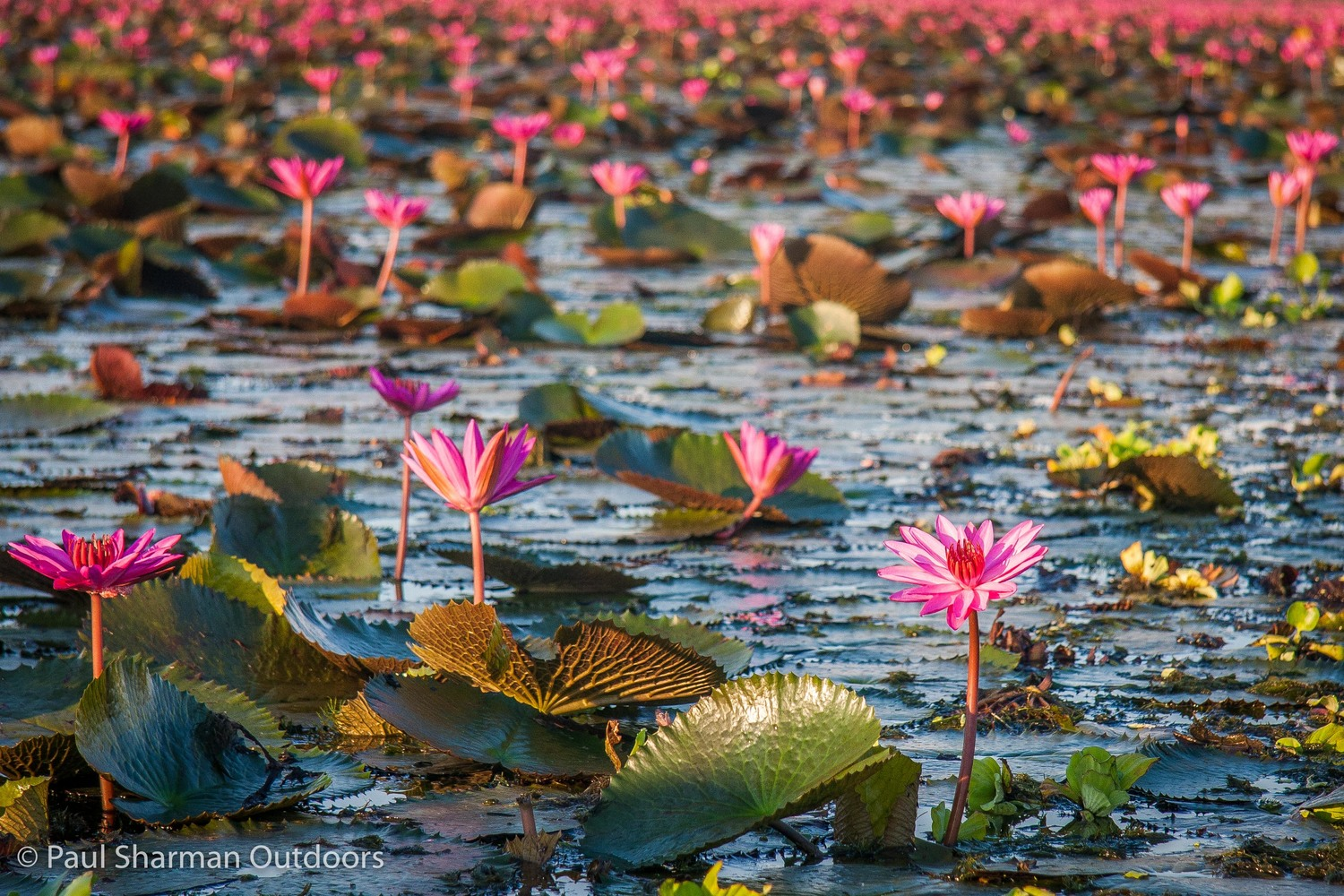 Travels in thailand the lotus gardens of thale noi paul sharman the lotus gardens of thale noi izmirmasajfo