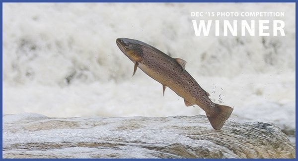 My winning photo of a Sussex sea trout leaping up a fish ladder.