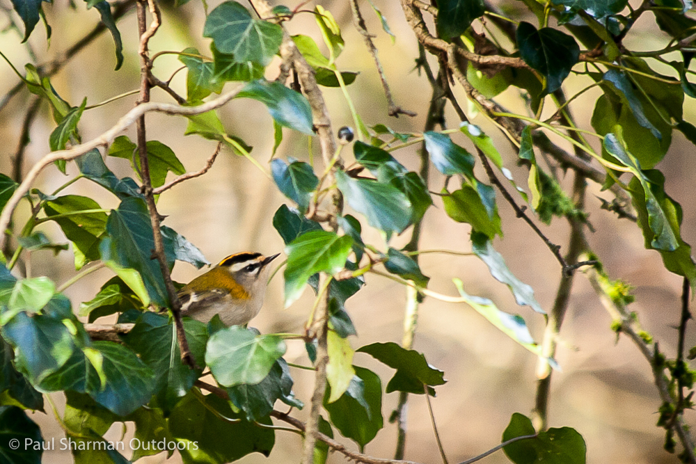 A firecrest flits about in the undergrowth