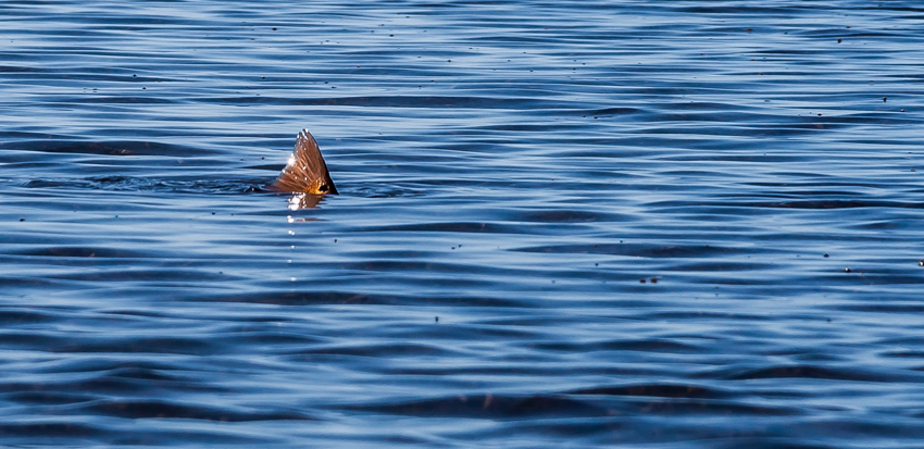 A tailing redfish - the stuff fishing dreams are made of!