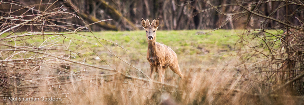 A roe deer keeping a close eye on me.