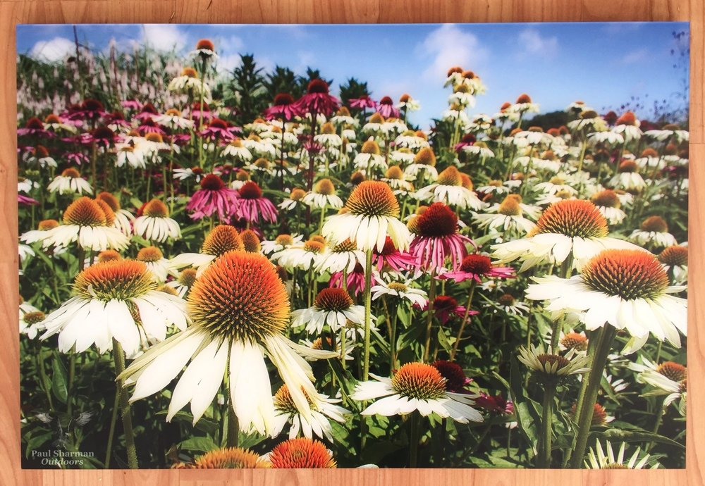 """Coneflower carnival"" by  Paul Sharman  Outdoors   - printed by Saal Digital on their acrylic glass wall product"