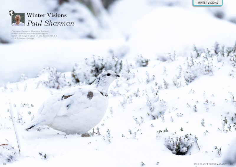 Ptarmigan in its winter coat of white up on Cairn Gorm mountain in Scotland.