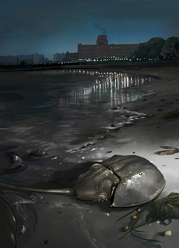 Blue Bloods - Illustration on the secret lives of horseshoe crabs.