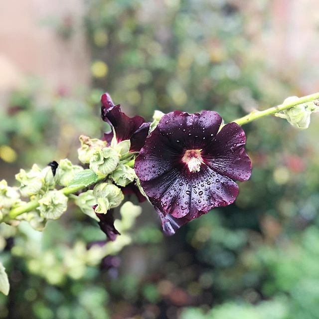 Rainy days may not be great for the hair, but they are for beautiful blooms like this guy. The most perfect shade of aubergine, totally covered in rain and not minding one bit. (There's a lesson in there somewhere I'm sure.) #beautyofnature #rsblooms #gardendelights