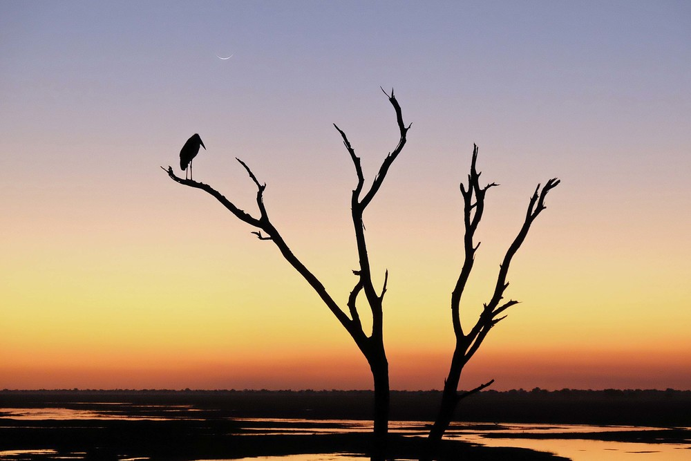 Maribou Stork at Sunset Overlooking the Chobe River