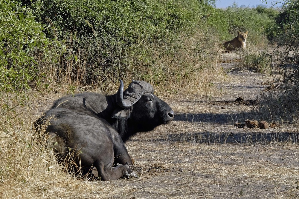 Cape Buffalo (notoriously poor eyesight) and African Lion