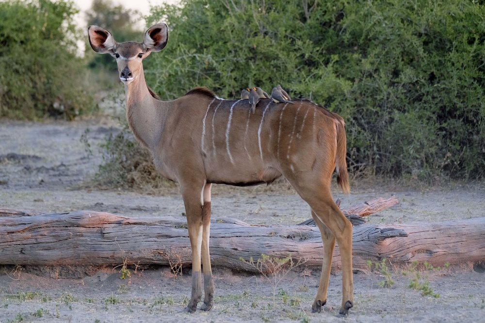 greater kudu giving some oxpeckers a ride