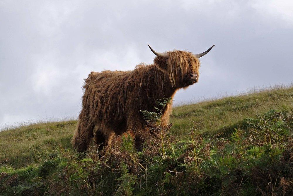 highland cow, isle of skye