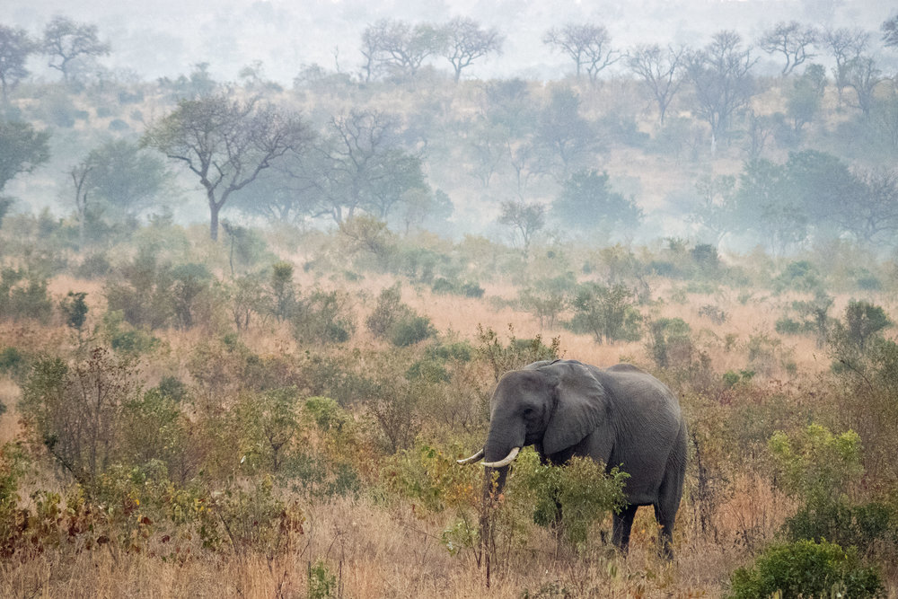 An African Elephant Browses in the Early Morning Mist at Kruger National Park