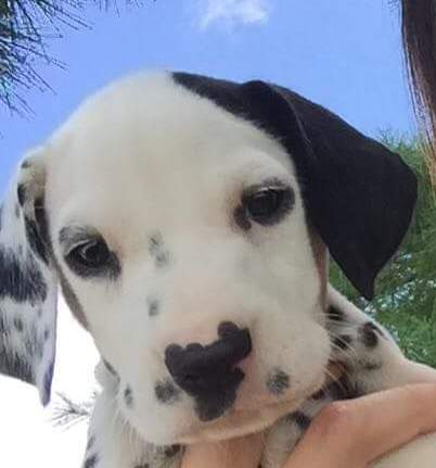 Dalmatian Puppy: Right Spot Dalmatians