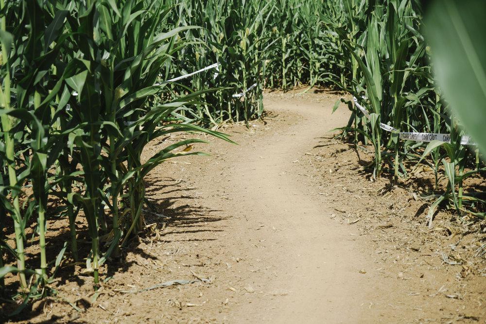 corn cross-21.jpg