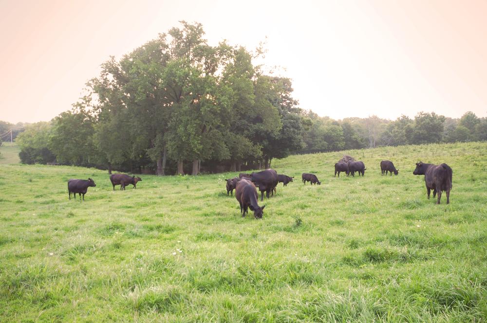 b-cows5.jpg