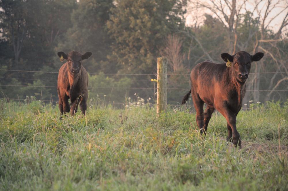 b-cows3.jpg