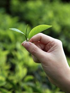 Deux feuilles de thé et un bourgeon