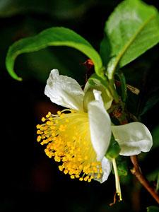 La fleur de Camellia Sinensis