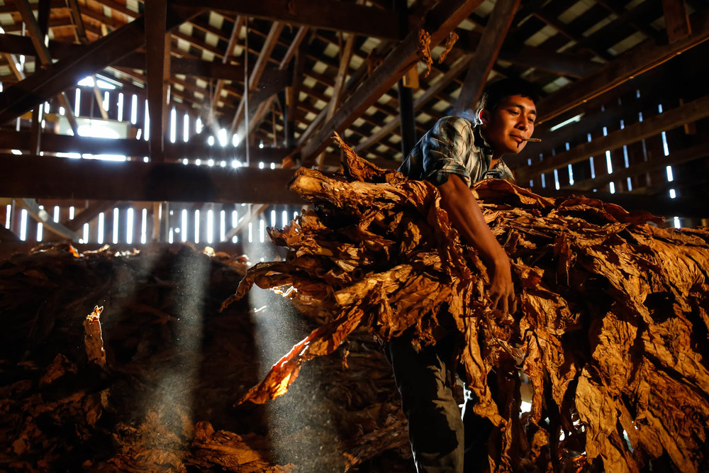 A migrant worker from Oaxaca, Mexico prepares tobacco stalks for stripping in Midway, Kentucky.
