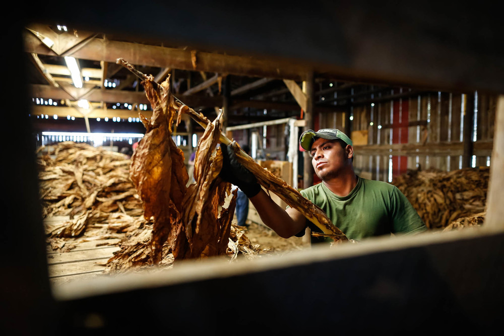 Farm owners hire migrant workers to help harvest and process tobacco in Midway, Kentucky.