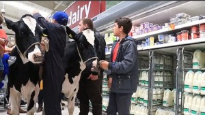 Farmers protest by taking cows in to supermarkets. Picture: Daily Mail