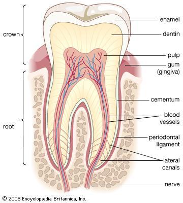 Human Tooth -