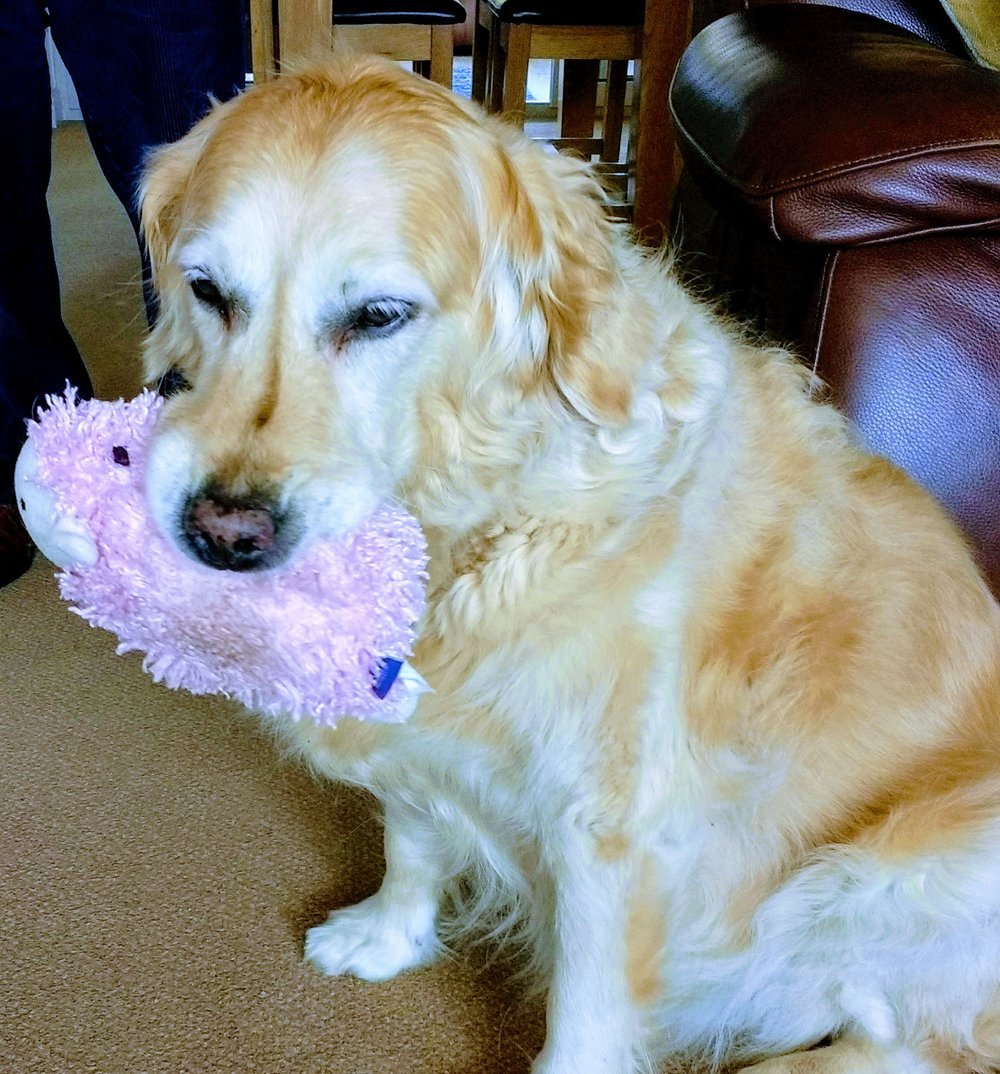 Molly is making great progress with her laser therapy for a torn cruciate ligament. She thinks it's a pamper session and falls fast asleep. The Vet feels it is helping her. Lorraine and Paul are lovely with Molly.