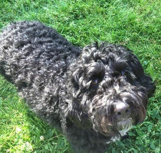 Ziggy the Spoodle, lady dog killer
