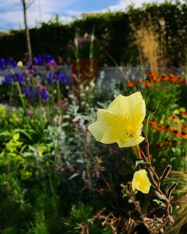 Oenothera stricta 'Sulphurea' is just about to close for the day, make sure you get in early to catch a glimpse @The_RHS #RHSTatton .... just one of our fantastic plants all supplied by our sponsor @hortusloci 👌🏼🌱