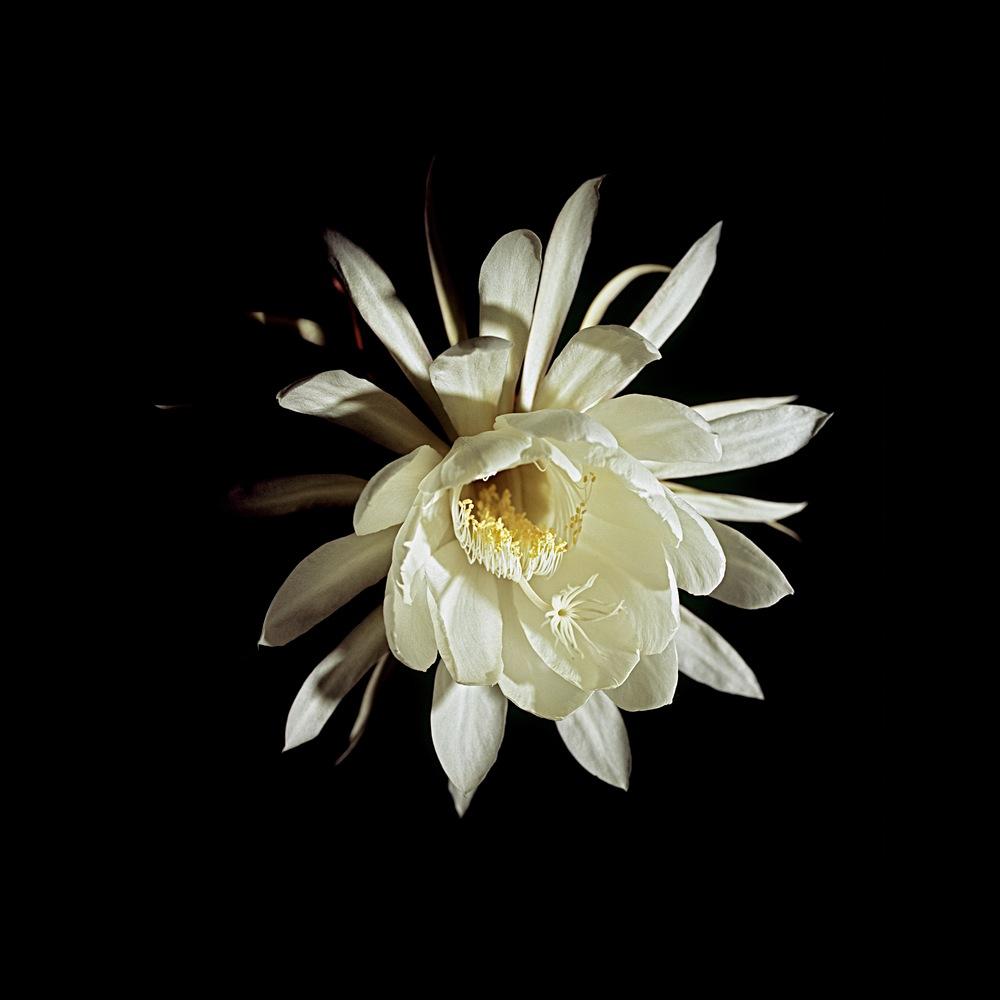 Kanwa Lily 2 / Featherstar