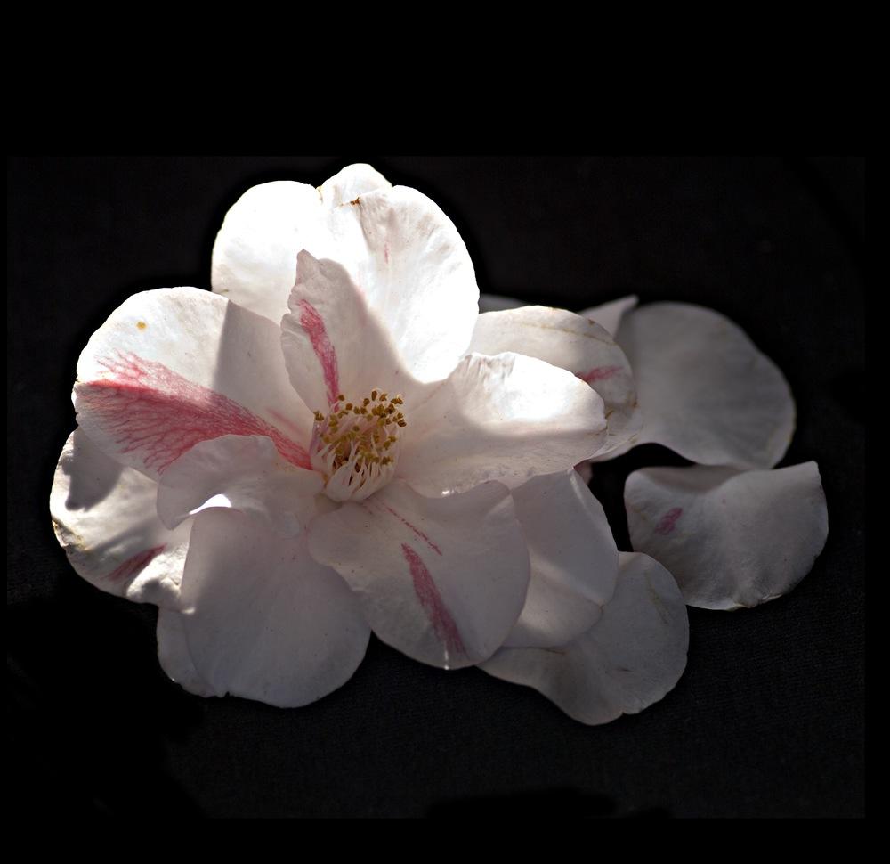 White Camellia 2 / Desmonema