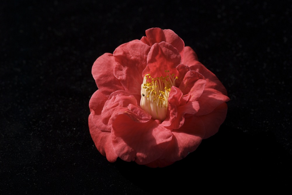 Red Camellia / Pink Crinoid