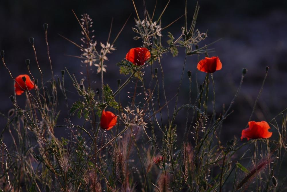 Wild Poppies - SW France