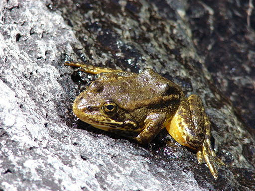 mountainyellowleggedfrog