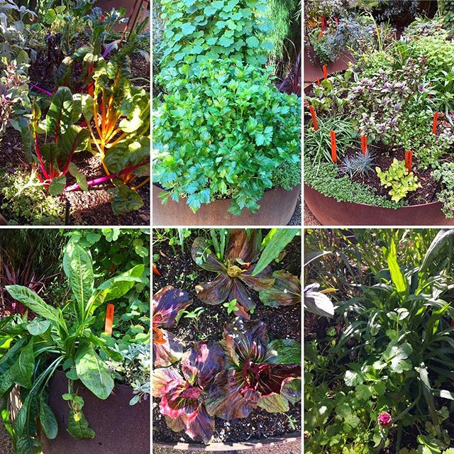 We are thankful for our garden which produces year-round. Here's a recap of what's happening: . Plants currently thriving include rainbow chard, kale, collards, onions, scallions, celery, mashua, basil, chives, Elizabeth pink dianthus, red and blue boy cornflower, toothache cress, sage, oregano, chicory, radicchio, cilantro, fava beans, sugar snap and snow peas, mustard greens, lemon grass, salad burnet, and stevia. We planted multi-colored carrots, watermelon radishes, and red and golden beets from seed. While they grow, we're eating the nutritious beets' leaves. . The bananas are still green but should be ready for harvesting in the next month. Last week we still had a monarch butterfly flying around. And, yesterday we spotted 8 baby monarch caterpillars. We are concerned that they won't survive the winter… . #NutrientDense #MedicinalFoods #HealthAndWellness #HealthyCooking #Farmacy #Immunity #GutHealth #Cancer #Liver #AutoimmuneDisease #AntiInflammatory #EatTheRainbow #Economical #WinterGarden #Homestead #UrbanGarden #EdibleGarden #MonarchButterfly #GrowFood #FoodIsMedicine