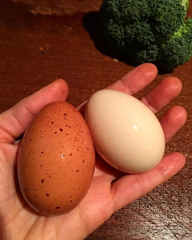 We thought our girls were done laying eggs for the year as they just went through their molt and the weather is changing—it's cooler and the days are getting shorter. But to our surprise, yesterday we found these presents from Rosita and Juanita. . I can always tell who laid which egg as each of our five chickens lays a different color egg—this is representative of their breeds. For example, the egg shown on the left is Rosita's. She is a Golden Cuckoo Maran and lays chocolate brown eggs with dark brown speckles. The egg on the right is Juanita's. She is a Buff Brahma and lays pink eggs. Pepita is a Blue Orpington and lays light brown eggs. The other two are Americaunas—Angelita's eggs are blue and Paquita's are greenish. . #Nutrition #BackyardChickens #Homestead #Wellness #HealthyCooking #NutrientDense #MedicinalFoods #HealthAndWellness #Detox #LiverHealth #Farmacy #Immunity #Autoimmune #BrainHealth #HeartHealth #FreeRange #Organic #HomeMade #Eggs #ChickensOfInstagram #Nourish #Thrive #Marans #Orpington #Americauna #Brahma #ChocolateEggs