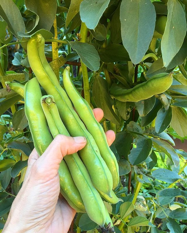 Last week I harvested the last of our FAVA BEANS to make room for cucumbers. I used a couple of handfuls to make hummus by cooking and mashing the beans and adding some extra-virgin olive oil, tahini, lemon juice, crushed garlic, cumin, turmeric, salt, pepper, and paprika for garnish. . Fava beans boost energy levels as they are high in iron (great for those with anemia) and support the nervous system and healthy red blood cells. They are loaded with protein, fiber, folate (a key nutrient for pregnant women), vitamins K and B6, and zinc to list a few. . Fava beans' high levels of manganese help increase bone mass and reduce calcium deficiency. They are high in magnesium which helps lower blood pressure and is critical for heart and overall health. Its copper content supports healthy blood cells which empower the immune system to fight free radicals and to destroy disease-causing pathogens. . Additionally, studies suggest that fava beans (with the outer shell dissolved in alcohol and water, or dried fava beans) may help control Parkinson's disease symptoms. Fava beans showed to increase the levels of L-dopa and C-dopa in the blood, aiding the motor performance of people with Parkinson's with no noted side effects. . CAUTION: Those with glucose-6-phospate dehydrogenace (G6PD) deficiency should avoid eating fava beans. This is a genetic disorder that affects proper red blood cell function. In those affected, red blood cells break down faster than the body can make them. G6PD deficiency can cause hemolytic anemia. . If you have a family history of G6PD deficiency, a rare form of anemia, or want to have vitamin C infusions for treatment of cancer or other conditions, be sure to get tested via a simple blood test. . #NutrientDense #NourishToThrive #Cancer #Depression #NervousSystem #DegenerativeDisease #NeurologicalDisease #Parkinson's #PregnancySupport #CalciumDeficiency #Osteoporosis #BoneMass #HighBloodPressure #HeartHealth #ImmuneBooster #L-dopa #C-dopa #G6PD
