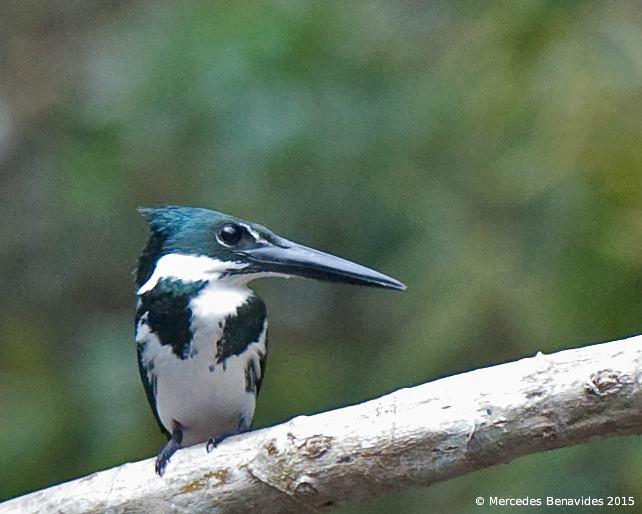 Green Kingfisher / Martín Pescador Verde