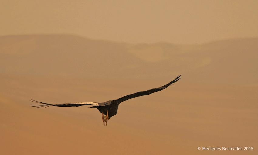 Andean Condor / Condor Andino
