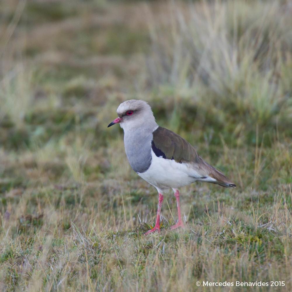 Avefría / Andean Lapwing  (Vanellus resplendens)   IUCN: (LC) Menor Preocupación / Least Concern