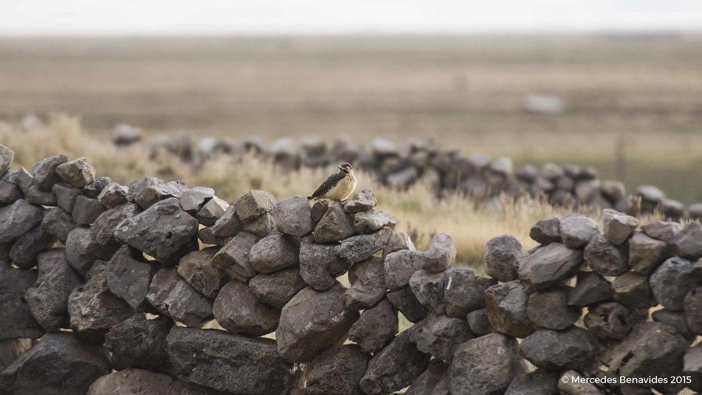 Pájaro Carpintero Andino / Andean Flicker  (Colaptes rupicola)   Pequeño caserío con muro de piedras / Small hamlet with stone-work hedge