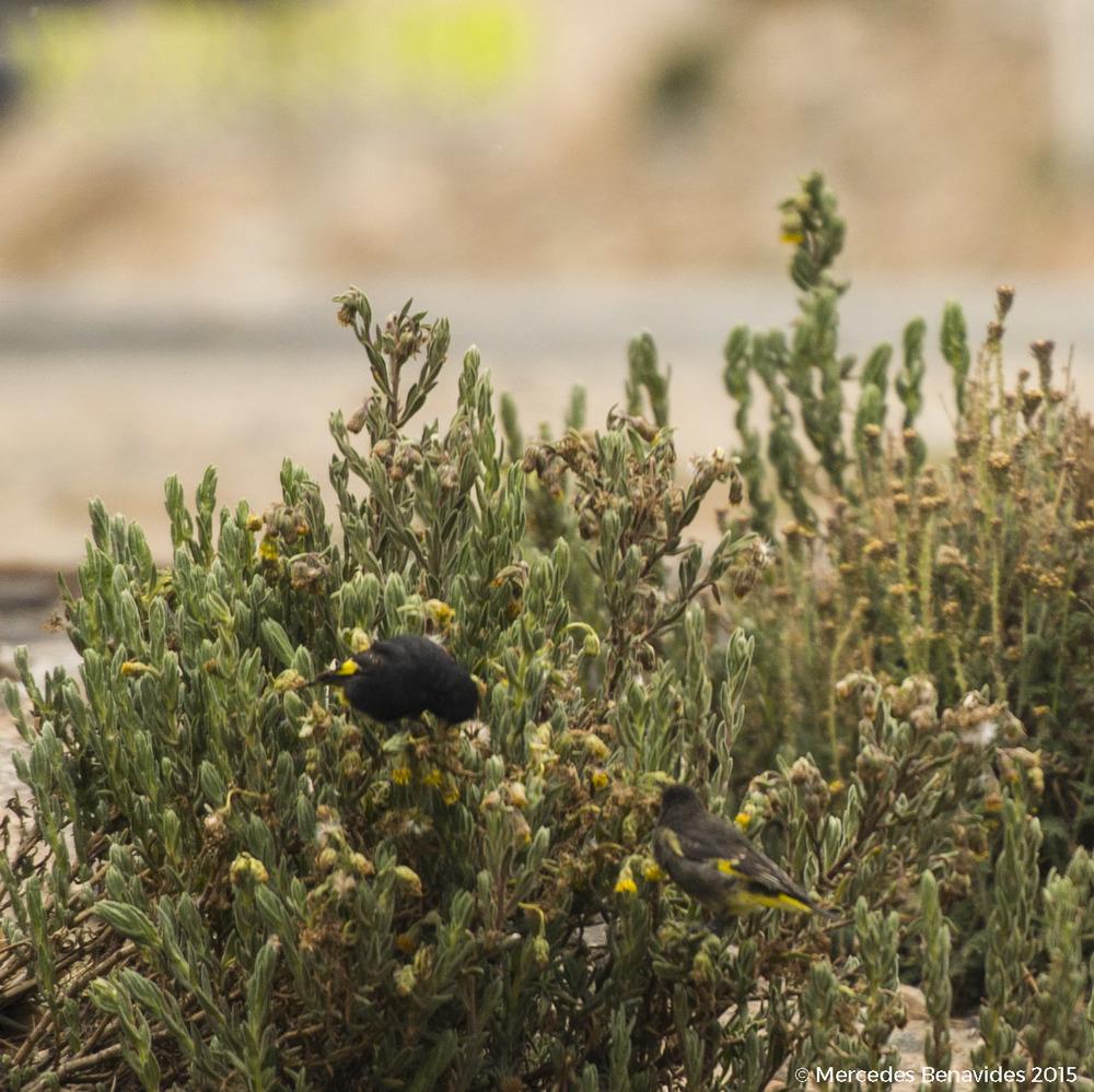 Jilguerito / Black Siskin ( Carduelis atrata ) S: Macho / Male; D: Hembra / Female  IUCN: (LC) Preocupación Menor / Least Concern