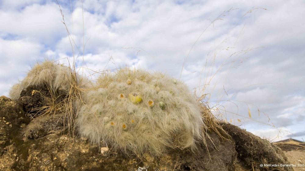 Cáctus.  (Tephrocactus floccosus)   Wooly cactus. ( Tephrocactus floccosus)